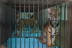 The Tiger Mafia